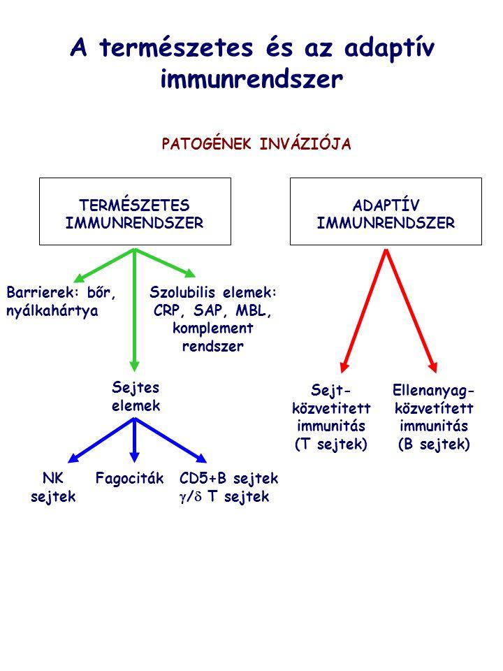 Tumorellenes immunválasz Daganatos elfajulást okozhatnak:  Kémiai karcinogének (benzol)  Sugárzás (UV, ionizáló sugárzás)  Vírusok (RSV) A tumorossá fajult sejtek felismerése és elpusztítása is az immunrendster feladata, melyben a sejtközvetített immunitásnak jut fő szerep.