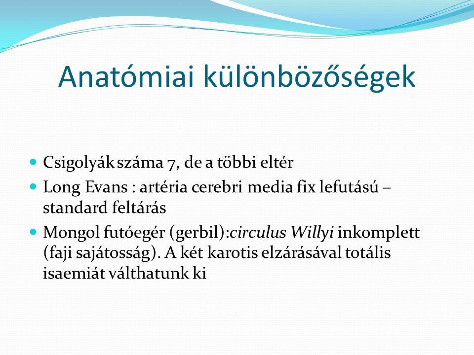 Anatómiai különbözőségek Csigolyák száma 7, de a többi eltér Long Evans : artéria cerebri media fix lefutású – standard feltárás Mongol futóegér (gerb
