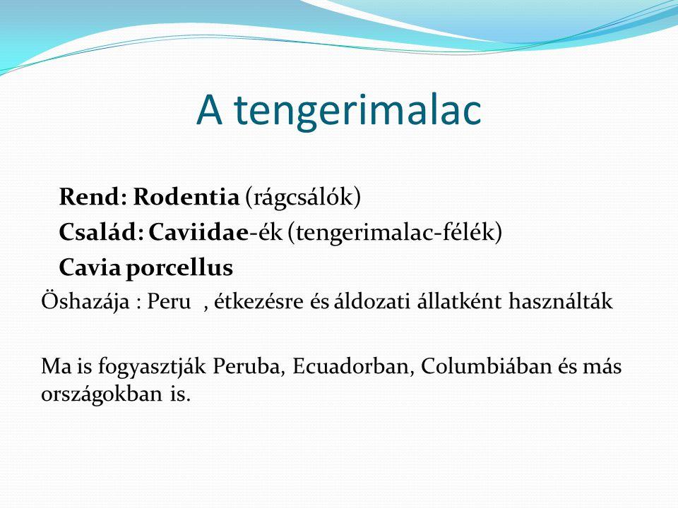 A tengerimalac Rend: Rodentia (rágcsálók) Család: Caviidae-ék (tengerimalac-félék) Cavia porcellus Őshazája : Peru, étkezésre és áldozati állatként ha