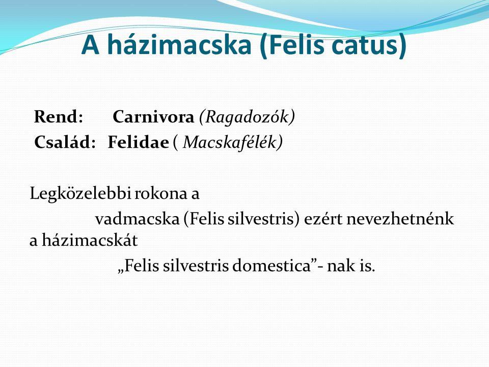 A házimacska (Felis catus) Rend: Carnivora (Ragadozók) Család: Felidae ( Macskafélék) Legközelebbi rokona a vadmacska (Felis silvestris) ezért nevezhe