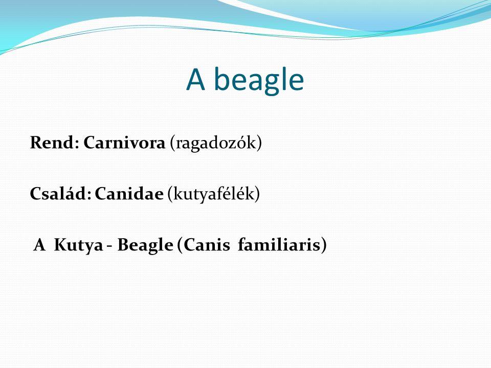 A beagle Rend: Carnivora (ragadozók) Család: Canidae (kutyafélék) A Kutya - Beagle (Canis familiaris)