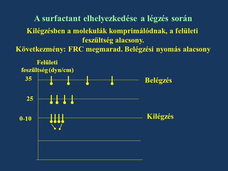 A surfactant elhelyezkedése a légzés során Kilégzésben a molekulák komprimálódnak, a felületi feszültség alacsony.