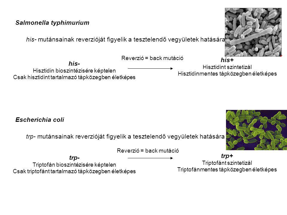 Salmonella typhimurium his- mutánsainak reverzióját figyelik a tesztelendő vegyületek hatására his- Hisztidin bioszintézisére képtelen Csak hisztidint