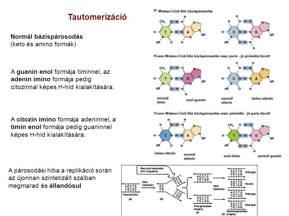 Normál bázispárosodás (keto és amino formák) A citozin imino formája adeninnel, a timin enol formája pedig guaninnel képes H-híd kialakítására. A guan