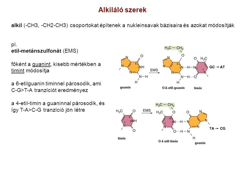 A genetikai anyag a sejtmembrán felé áramlik.