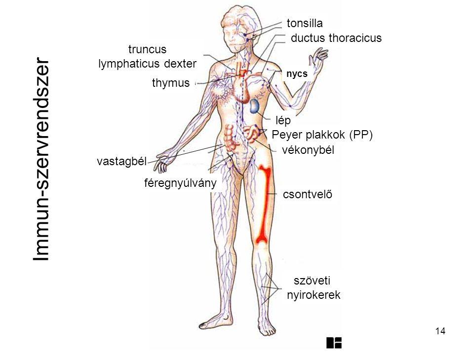 14 Immun-szervrendszer szöveti nyirokerek csontvelő vékonybél Peyer plakkok (PP) lép vastagbél féregnyúlvány thymus ductus thoracicus tonsilla nycs tr