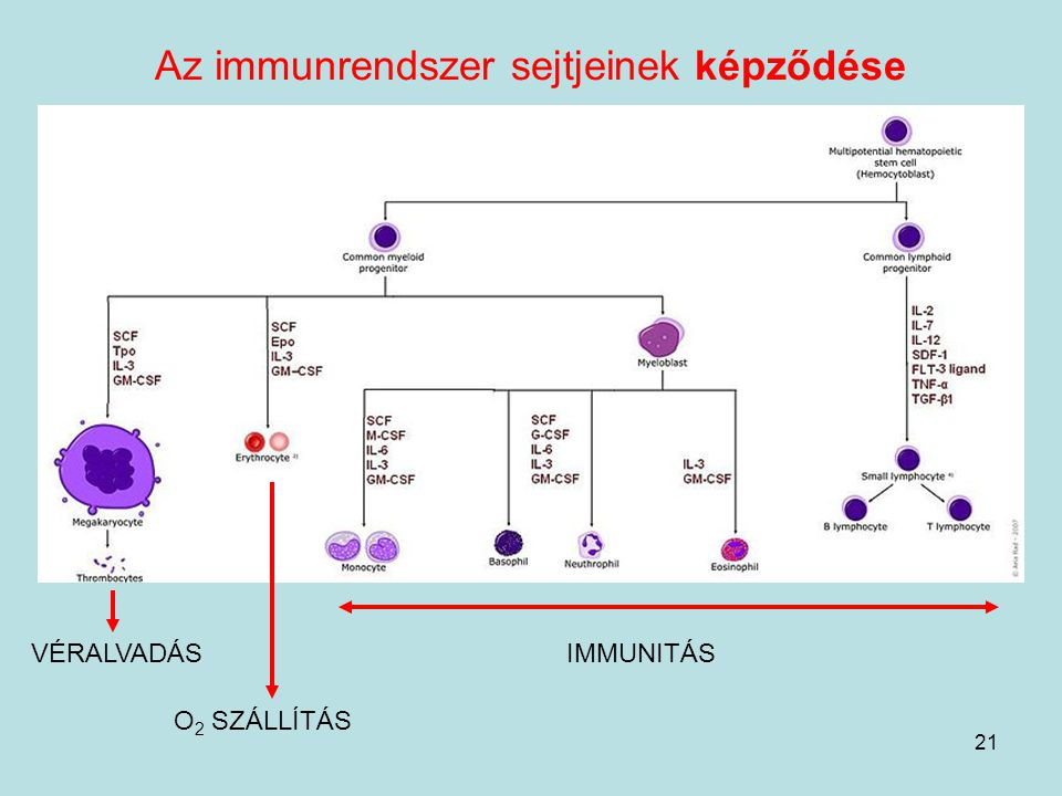 21 Az immunrendszer sejtjeinek képződése VÉRALVADÁS O 2 SZÁLLÍTÁS IMMUNITÁS