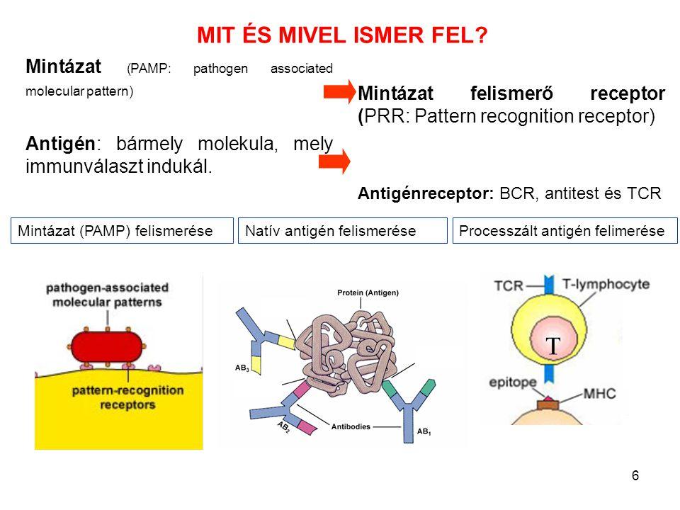 6 MIT ÉS MIVEL ISMER FEL? Processzált antigén felimeréseNatív antigén felismeréseMintázat (PAMP) felismerése Mintázat (PAMP: pathogen associated molec