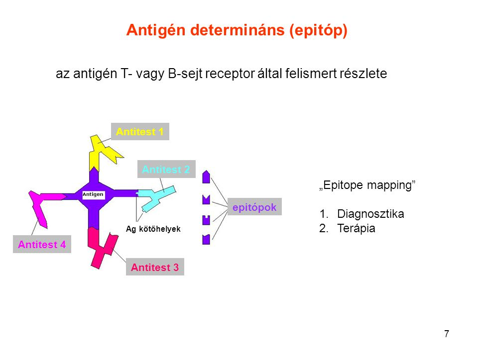 """7 """"Epitope mapping"""" 1.Diagnosztika 2.Terápia Antitest 1 Antitest 2 Antitest 3 Antitest 4 epitópok Ag kötőhelyek Antigén determináns (epitóp) az antigé"""