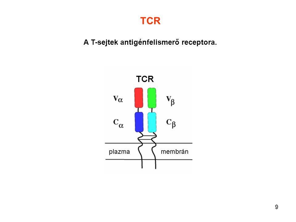 30 Direkt sejt-sejt interakció T lymphocyta és APC kapcsolódása T sejt