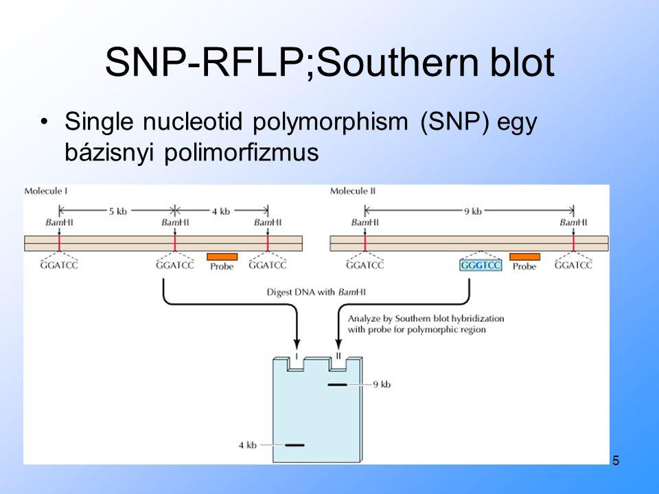 5 SNP-RFLP;Southern blot Single nucleotid polymorphism (SNP) egy bázisnyi polimorfizmus