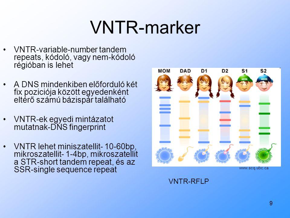 9 VNTR-marker VNTR-variable-number tandem repeats, kódoló, vagy nem-kódoló régióban is lehet A DNS mindenkiben előforduló két fix poziciója között egy