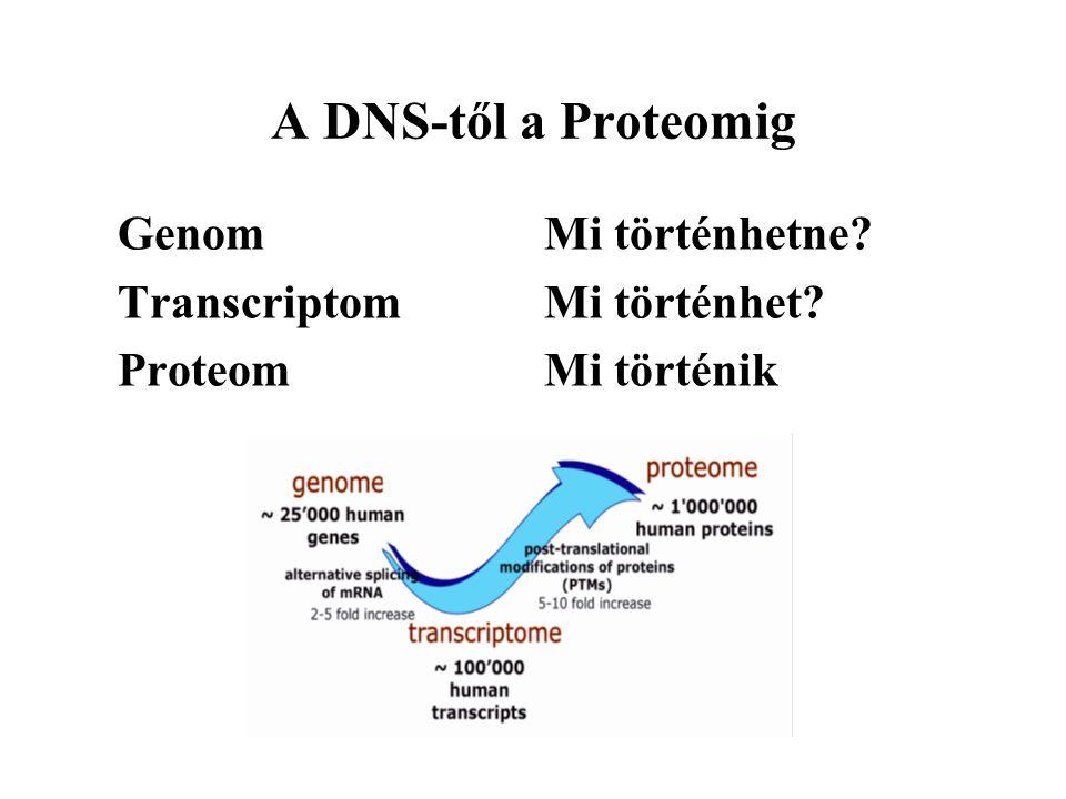 A DNS-től a Proteomig Genom Mi történhetne? Transcriptom Mi történhet? Proteom Mi történik