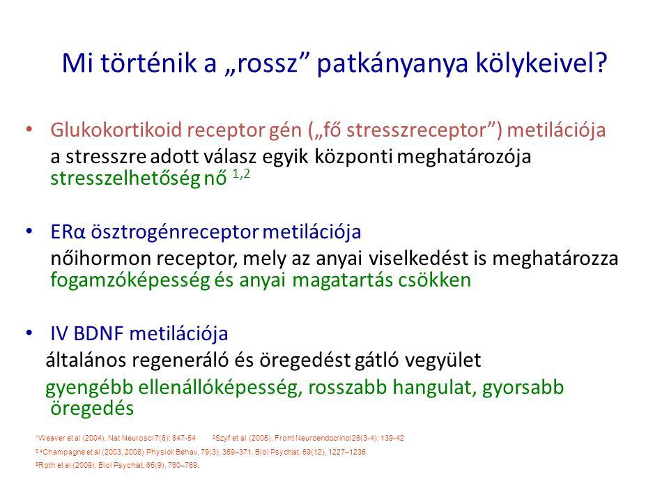 """Mi történik a """"rossz"""" patkányanya kölykeivel? Glukokortikoid receptor gén (""""fő stresszreceptor"""") metilációja a stresszre adott válasz egyik központi m"""