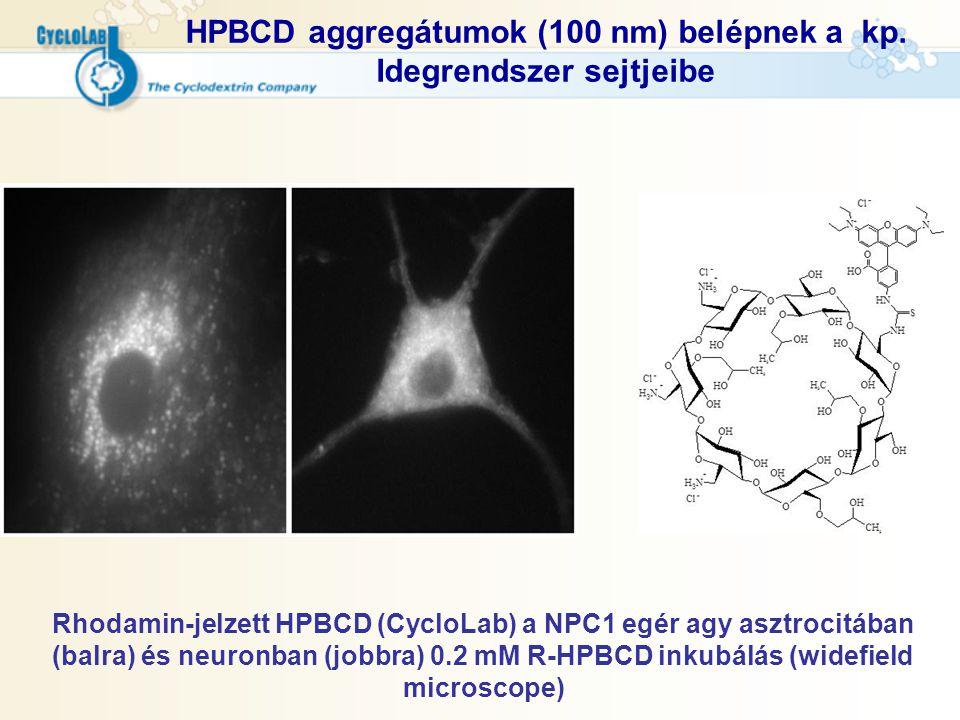 HPBCD aggregátumok (100 nm) belépnek a kp. Idegrendszer sejtjeibe Rhodamin-jelzett HPBCD (CycloLab) a NPC1 egér agy asztrocitában (balra) és neuronban