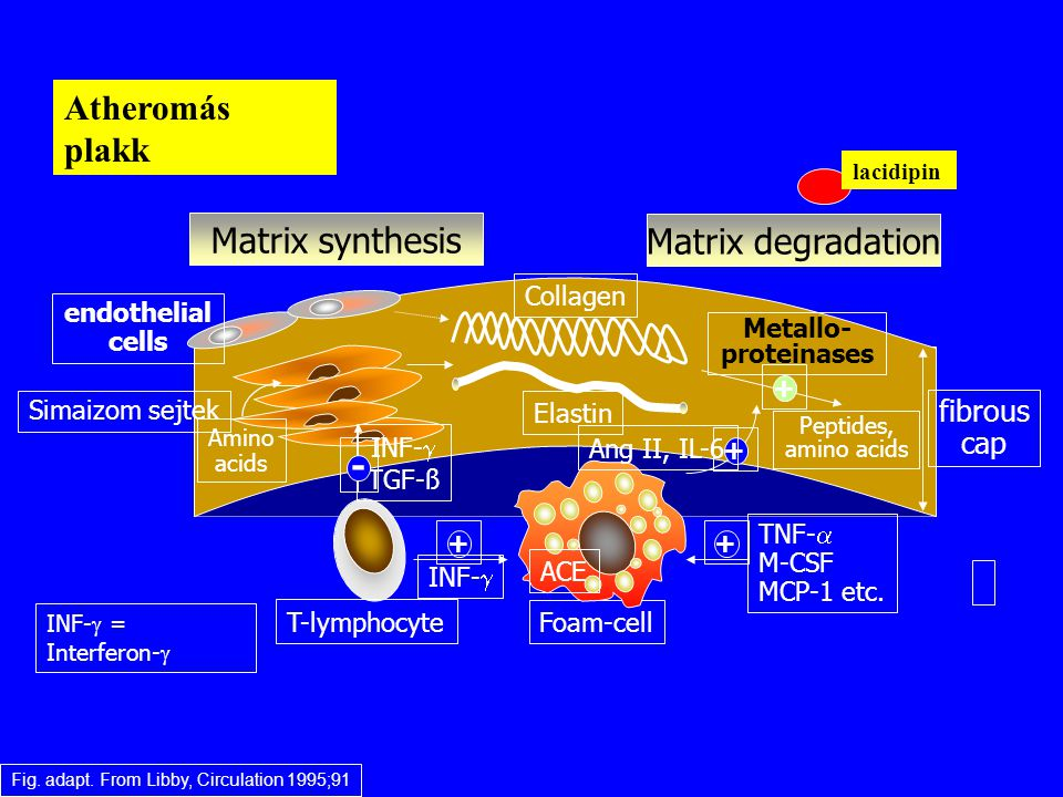 Fig. adapt. From Libby, Circulation 1995;91 Foam-cell fibrous cap Matrix synthesis Matrix degradation Simaizom sejtek Collagen Elastin endothelial cel
