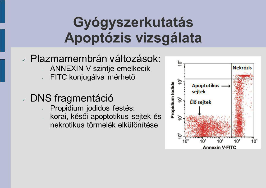 Gyógyszerkutatás Apoptózis vizsgálata Plazmamembrán változások: - ANNEXIN V szintje emelkedik - FITC konjugálva mérhető DNS fragmentáció - Propidium j