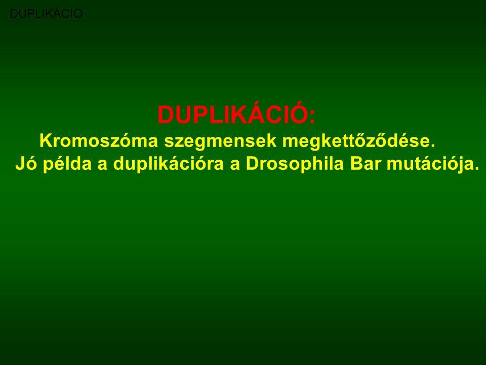 DUPLIKÁCIÓ DUPLIKÁCIÓ: Kromoszóma szegmensek megkettőződése. Jó példa a duplikációra a Drosophila Bar mutációja.