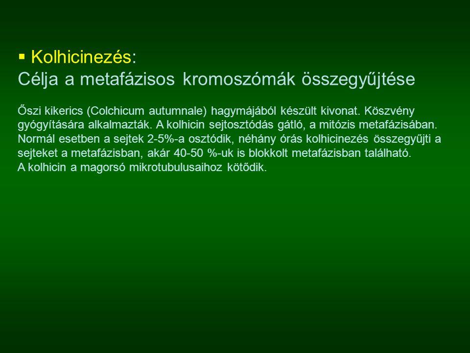  Kolhicinezés: Célja a metafázisos kromoszómák összegyűjtése Őszi kikerics (Colchicum autumnale) hagymájából készült kivonat. Köszvény gyógyítására a