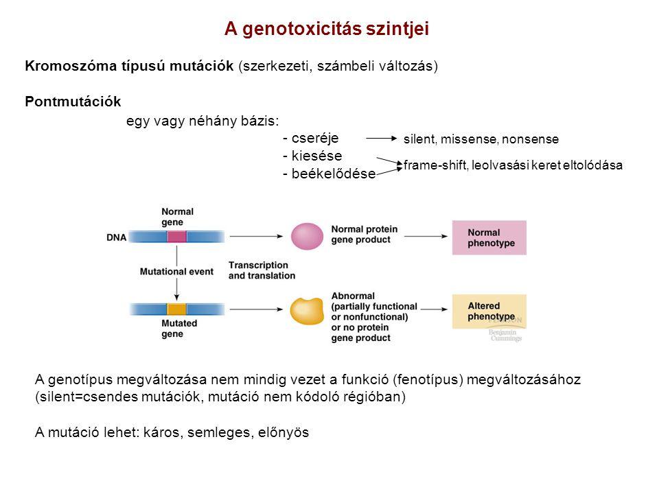 A genotípus megváltozása nem mindig vezet a funkció (fenotípus) megváltozásához (silent=csendes mutációk, mutáció nem kódoló régióban) A mutáció lehet: káros, semleges, előnyös egy vagy néhány bázis: - cseréje - kiesése - beékelődése A genotoxicitás szintjei Kromoszóma típusú mutációk (szerkezeti, számbeli változás) Pontmutációk frame-shift, leolvasási keret eltolódása silent, missense, nonsense