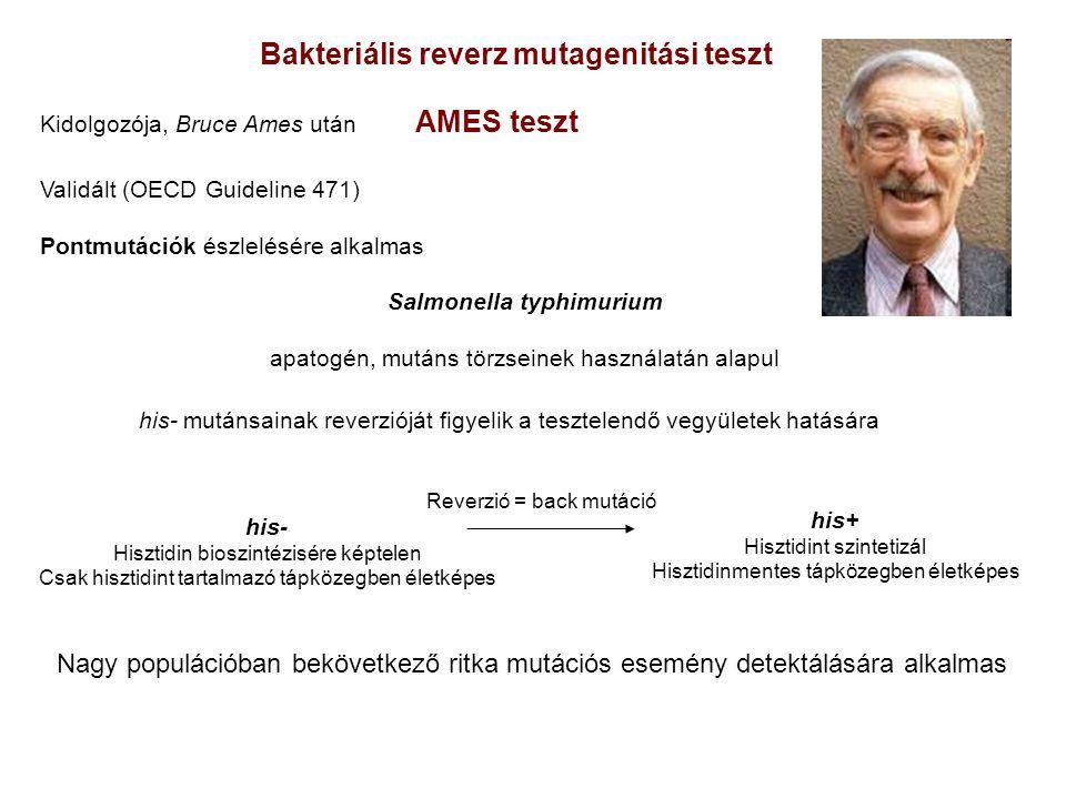 Bakteriális reverz mutagenitási teszt Kidolgozója, Bruce Ames után AMES teszt Validált (OECD Guideline 471) Pontmutációk észlelésére alkalmas Salmonella typhimurium apatogén, mutáns törzseinek használatán alapul his- mutánsainak reverzióját figyelik a tesztelendő vegyületek hatására his- Hisztidin bioszintézisére képtelen Csak hisztidint tartalmazó tápközegben életképes his+ Hisztidint szintetizál Hisztidinmentes tápközegben életképes Reverzió = back mutáció Nagy populációban bekövetkező ritka mutációs esemény detektálására alkalmas