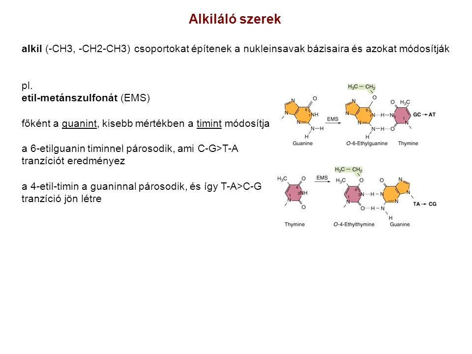 pl. etil-metánszulfonát (EMS) főként a guanint, kisebb mértékben a timint módosítja a 6-etilguanin timinnel párosodik, ami C-G>T-A tranzíciót eredmény