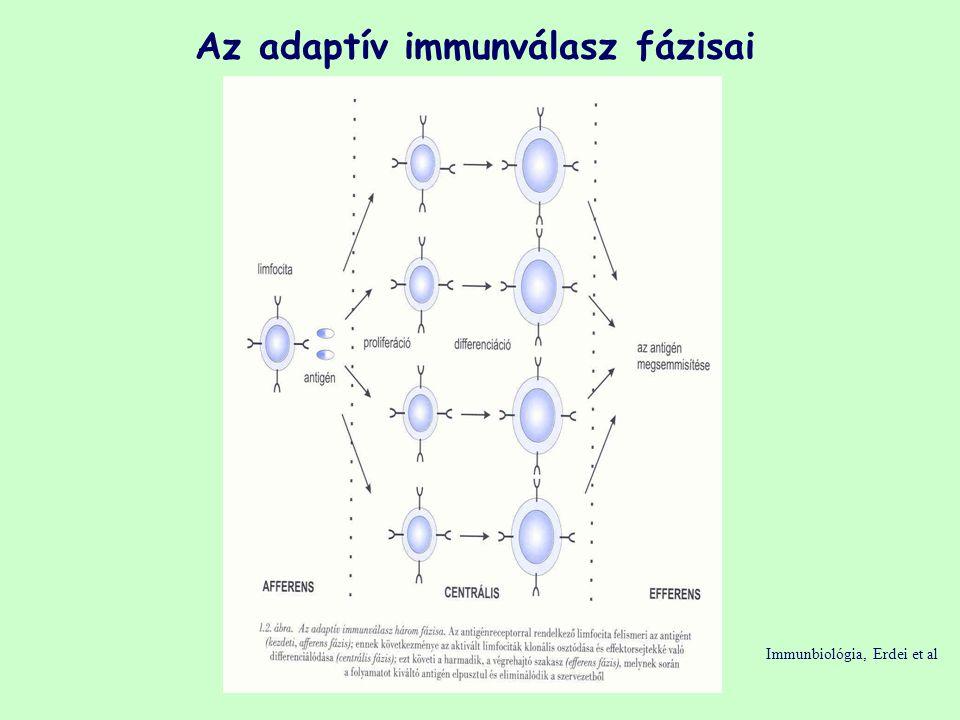 Az adaptív immunválasz fázisai Immunbiológia, Erdei et al