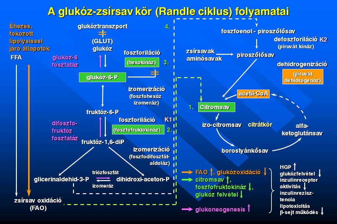 A glukóz-zsírsav kör (Randle ciklus) folyamatai glukóztranszport (GLUT) glukóz Éhezés, fokozott lipolysissel járó állapotok FFA zsírsav oxidáció (FAO)