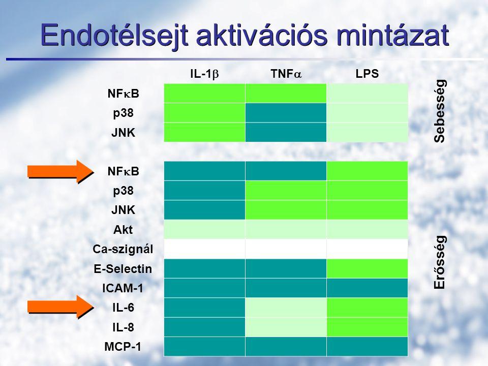 Endotélsejt aktivációs mintázat IL-1  TNF  LPS NF  B p38 JNK NF  B p38 JNK Akt Ca-szignál E-Selectin ICAM-1 IL-6 IL-8 MCP-1 Erősség Sebesség