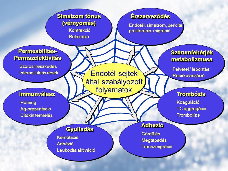 Szérumfehérjék metabolizmusa Szérumfehérjék metabolizmusa Felvétel / lebontás Recirkularizáció Trombózis Koaguláció TC aggregáció Trombolízis Simaizom