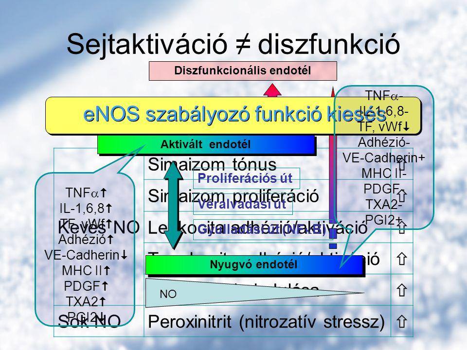 Kevés NO Simaizom tónus  Simaizom proliferáció  Leukocita adhézió/aktiváció  Trombocita adhézió/aktiváció  Gyulladás beindulása  Sok NOPeroxinitrit (nitrozatív stressz)  Sejtaktiváció ≠ diszfunkció NO Nyugvó endotél NO Aktivált endotél Diszfunkcionális endotél eNOS szabályozó funkció kiesés Gyulladási út (NF  B) Véralvadási út Proliferációs út TNF  - IL-1,6,8- TF, vWf  Adhézió- VE-Cadherin+ MHC II- PDGF- TXA2- PGI2+ TNF   IL-1,6,8  TF, vWf  Adhézió  VE-Cadherin  MHC II  PDGF  TXA2  PGI2 