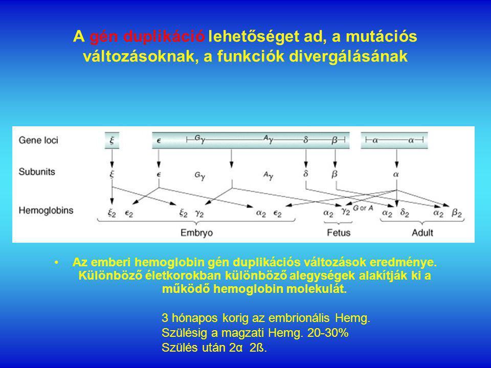 A gén duplikáció lehetőséget ad, a mutációs változásoknak, a funkciók divergálásának Az emberi hemoglobin gén duplikációs változások eredménye.
