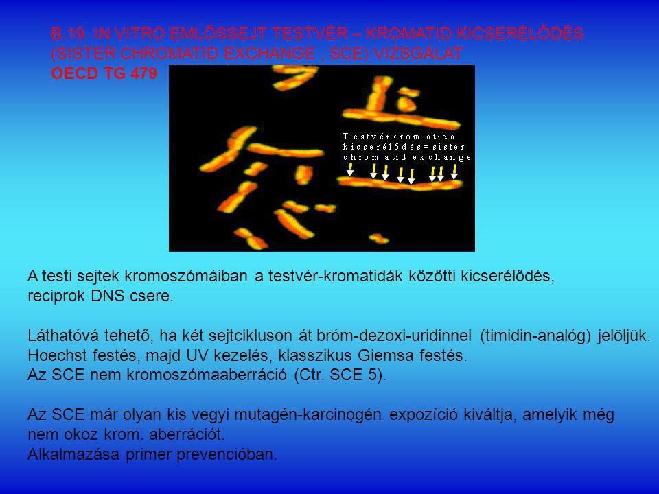 A testi sejtek kromoszómáiban a testvér-kromatidák közötti kicserélődés, reciprok DNS csere.