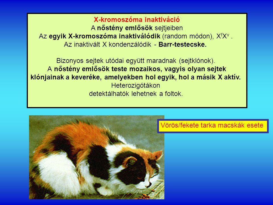 X-kromoszóma inaktiváció A nőstény emlősök sejtjeiben Az egyik X-kromoszóma inaktiválódik (random módon), X f X v.