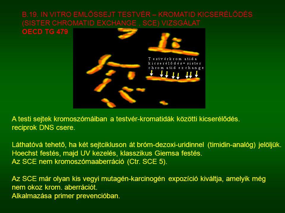 A testi sejtek kromoszómáiban a testvér-kromatidák közötti kicserélődés.
