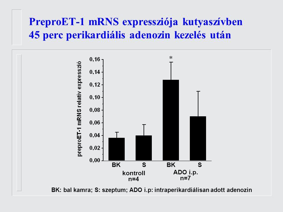 PreproET-1 mRNS expressziója kutyaszívben 45 perc perikardiális adenozin kezelés után BK SS kontroll n=4 ADO i.p.