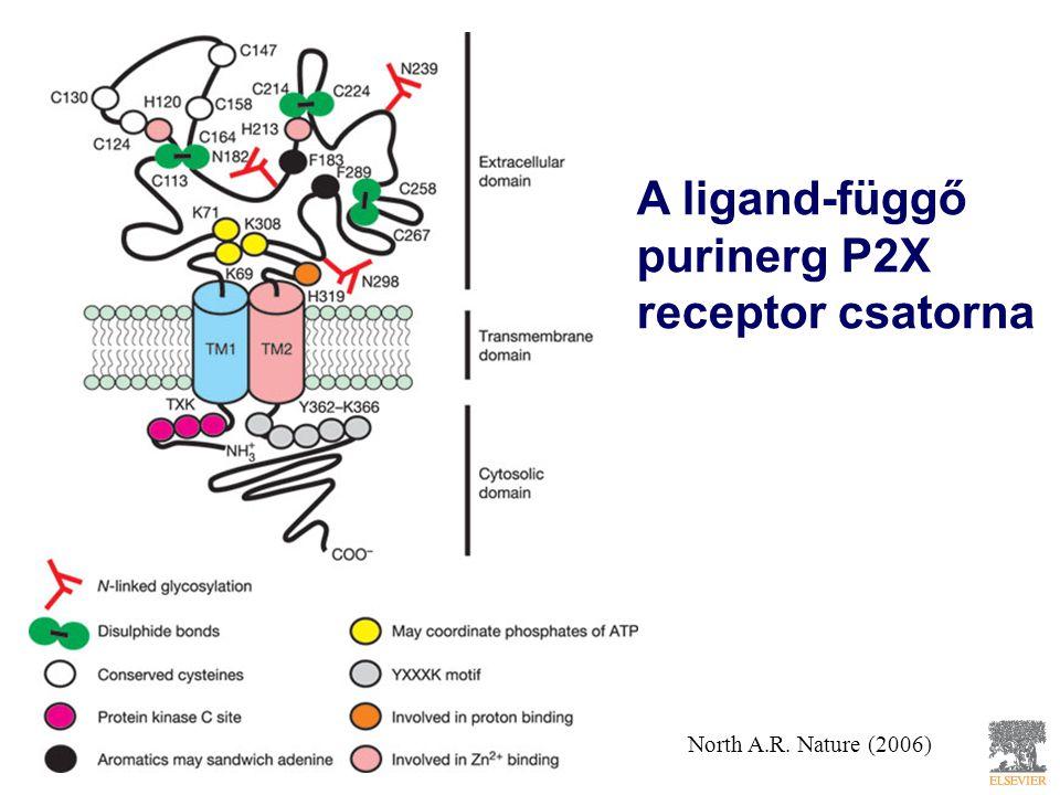 A ligand-függő purinerg P2X receptor csatorna North A.R. Nature (2006)
