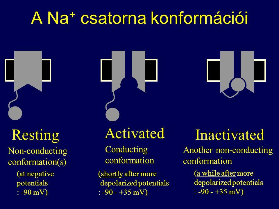 A Na + csatorna konformációi Activated Conducting conformation Resting Non-conducting conformation(s) (at negative potentials : -90 mV) (shortly after