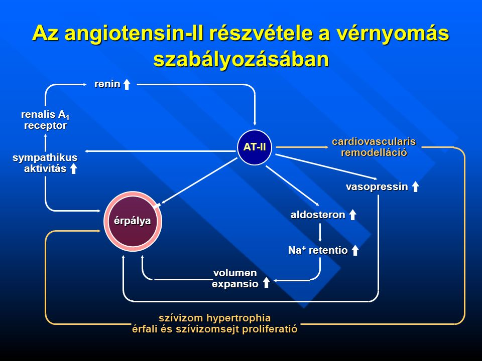 Az angiotensin-II részvétele a vérnyomás szabályozásában AT-II renin érpálya sympathikusaktivitás renalis A 1 receptor szívizom hypertrophia érfali és szívizomsejt proliferatió cardiovascularisremodelláció vasopressin aldosteron Na + retentio volumenexpansio