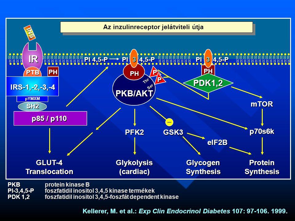 INS IR IRS-1,-2,-3,-4 PTB SH2 pYMXM p85 / p110 PI 4,5-P 33 PH PH PH PKB/AKT PDK1,2 P P Thr Ser GLUT-4TranslocationGlykolysis(cardiac)GlycogenSynthesisProteinSynthesis PFK2GSK3 elF2B p70s6k mTOR PKBprotein kinase B PI-3,4,5-Pfoszfatidil inositol 3,4,5 kinase termékek PDK 1,2foszfatidil inositol 3,4,5-foszfát dependent kinase Kellerer, M.