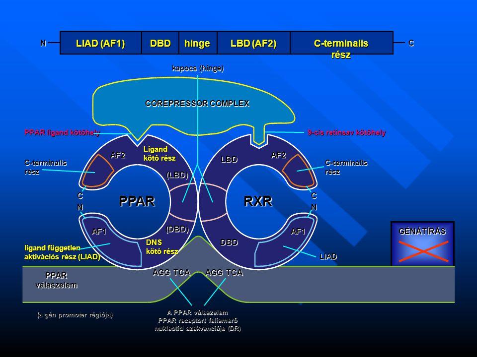AGG TCA A PPAR válaszelem PPAR receptort felismerô nukleotid szekvenciája (DR) (a gén promoter régiója) PPAR válaszelem ligand független aktivációs rész (LIAD) AF1 (DBD) DBD DNS kötô rész LIAD AF1 PPARRXR C N C-terminalisrész AF2 PPAR ligand kötôhely Ligand kötô rész (LBD) LBD AF2 C N C-terminalisrész 9-cis retinsav kötôhely kapocs (hinge) GÉNÁTÍRÁS N LIAD (AF1) DBDhinge LBD (AF2) C-terminalis rész C COREPRESSOR COMPLEX