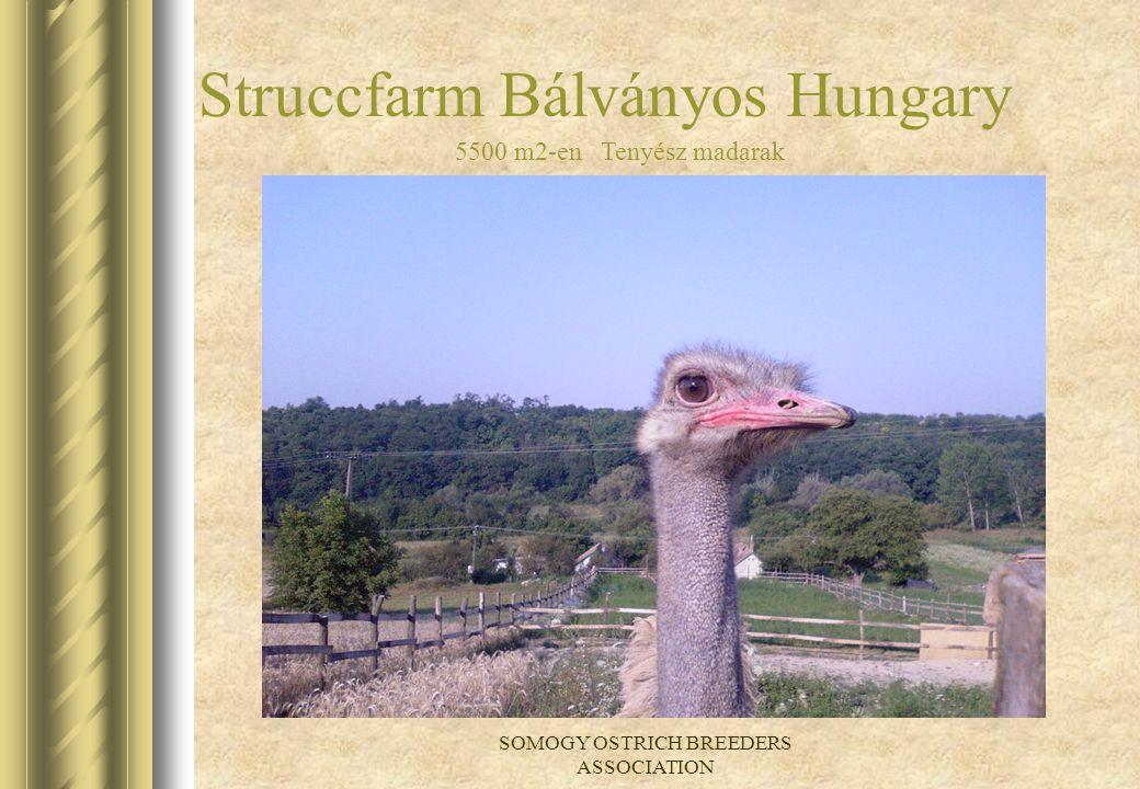 SOMOGY OSTRICH BREEDERS ASSOCIATION Struccfarm Bálványos Hungary 5500 m2-en Tenyész madarak