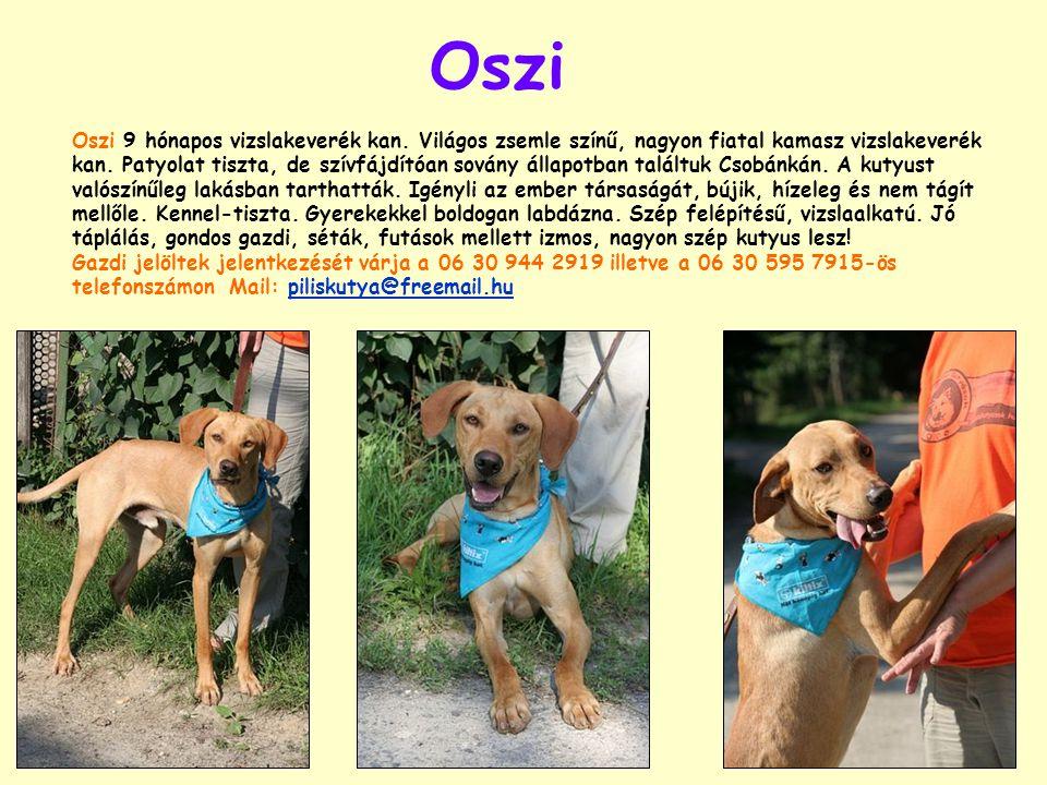 Csobán Csobán: Sintér veszélyben, befogadó nélkül, önsétáltató kutyák prédájaként, élte életét ez a 4-5 éves szetter-vizsla keverék kan kutyus.