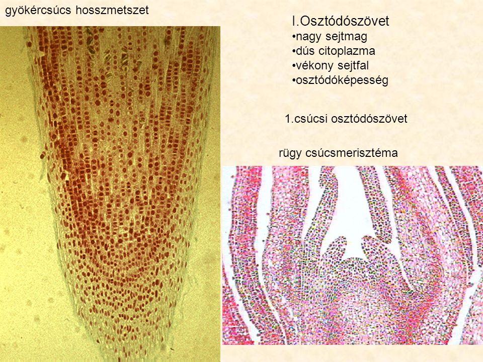 gyökércsúcs hosszmetszet rügy csúcsmerisztéma I.Osztódószövet nagy sejtmag dús citoplazma vékony sejtfal osztódóképesség 1.csúcsi osztódószövet