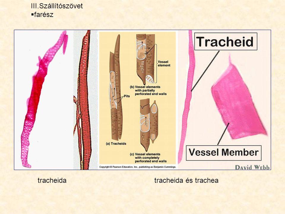 III.Szállítószövet  farész tracheidatracheida és trachea