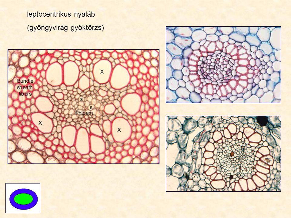 leptocentrikus nyaláb (gyöngyvirág gyöktörzs)