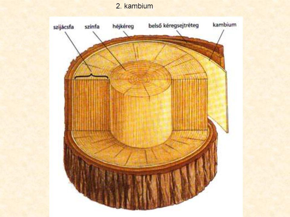 gyantajárat béléssejtekkel