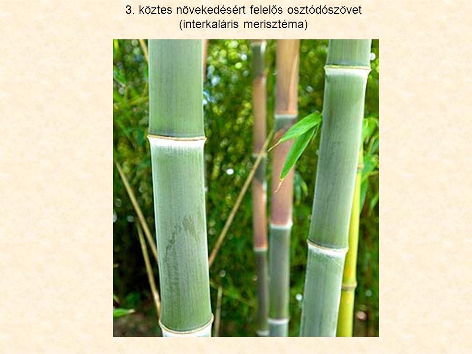 3. köztes növekedésért felelős osztódószövet (interkaláris merisztéma)