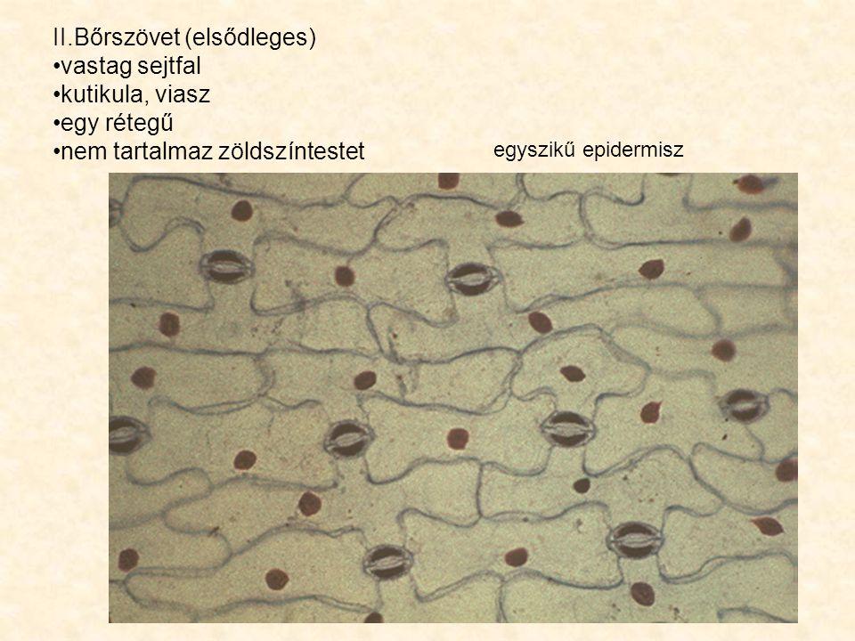 egyszikű epidermisz II.Bőrszövet (elsődleges) vastag sejtfal kutikula, viasz egy rétegű nem tartalmaz zöldszíntestet