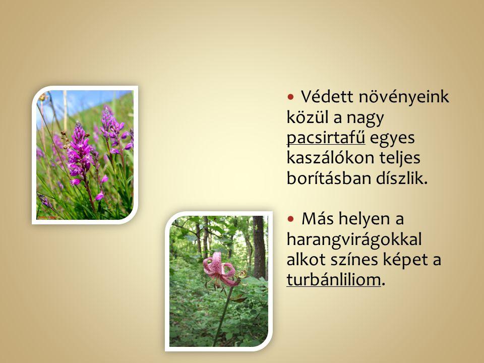 Védett növényeink közül a nagy pacsirtafű egyes kaszálókon teljes borításban díszlik. Más helyen a harangvirágokkal alkot színes képet a turbánliliom.